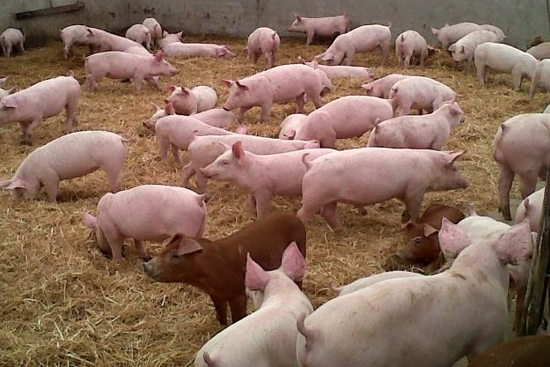 El acuerdo China - EE.UU. podría afectar al sector porcino español