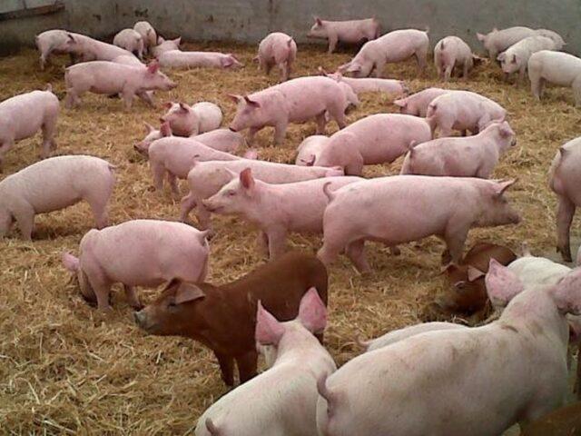 El acuerdo China – EE.UU. podría afectar al sector porcino español