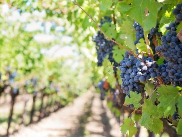 Aumento de las exportaciones españolas de vino en el primer semestre